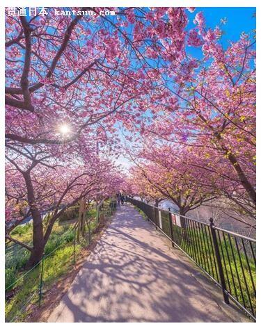 日本留学:待到樱花烂漫时